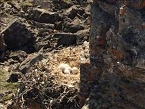 Jeremy Hansen on a geological expedition on Victoria Island - Gyrfalcon nest